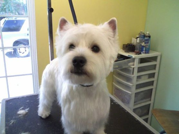 Zeek the West Highland Terrier